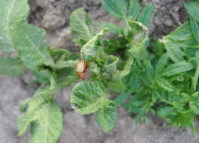 The battle of the Colorado potato beetle…