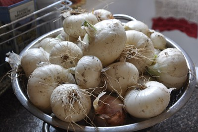Storing spring sweet onions