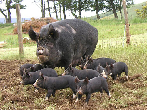 What type of pig to raise.