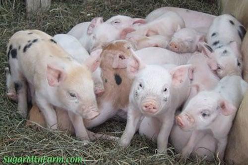 cost of raising pigs