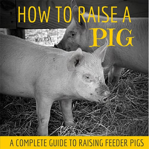 How to raise a pig – with a little help from Pinterest