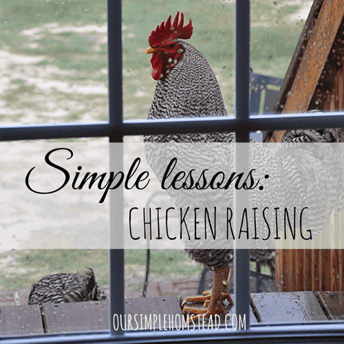 Simple Lessons: Chicken Raising