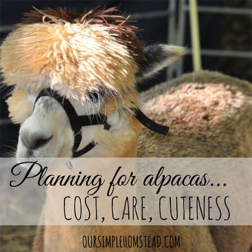 Raising Alpacas – Cost, Care, Cuteness
