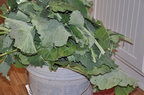 bucket of collard greens