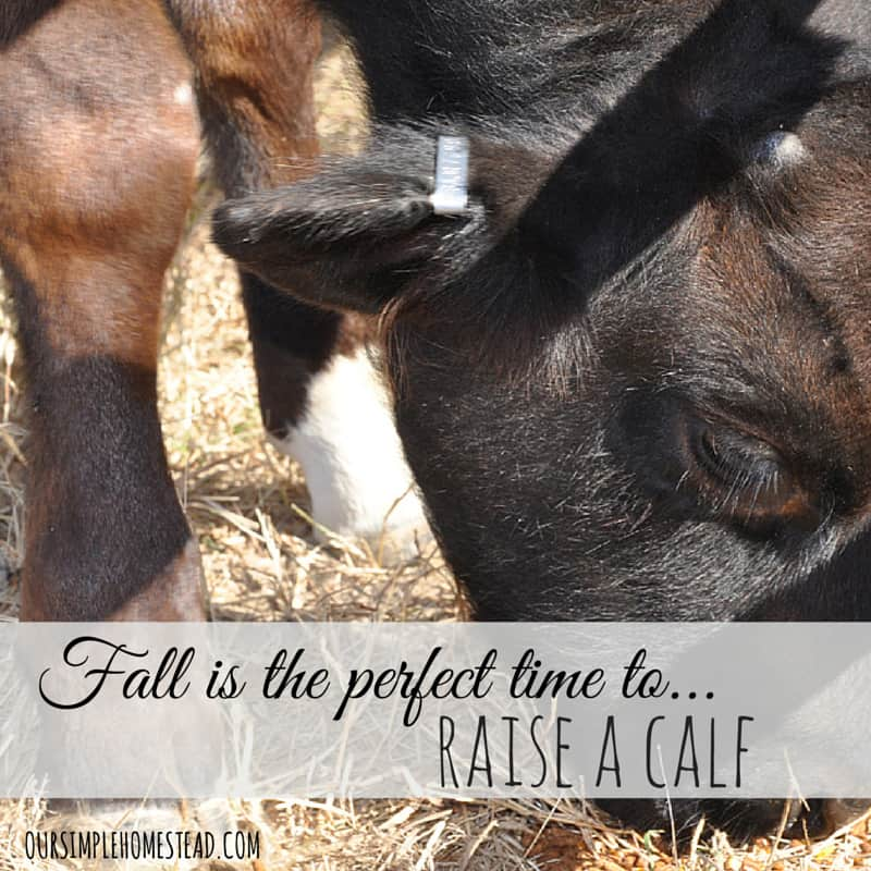 Fall is the Perfect Time to Raise a Calf