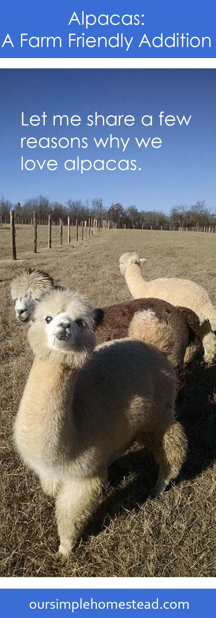 Why we love alpacas!