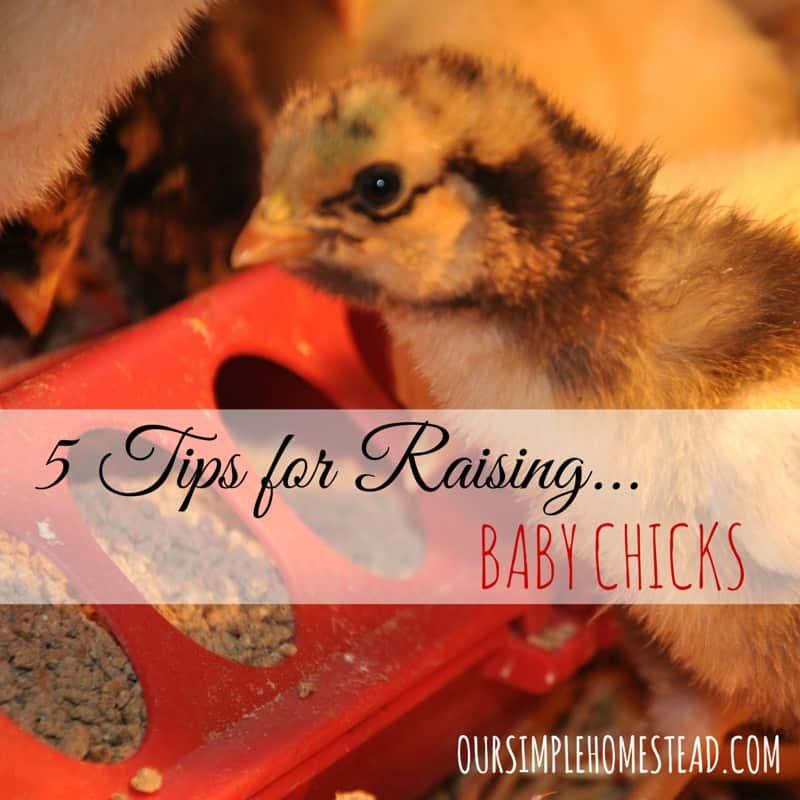 5 Tips for Raising Baby Chicks
