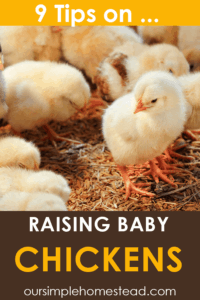 raising baby chickens