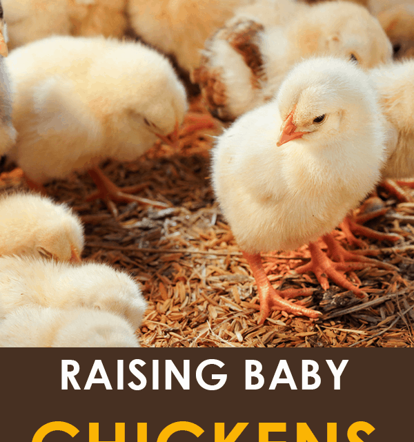 9 Tips for Raising Baby Chickens