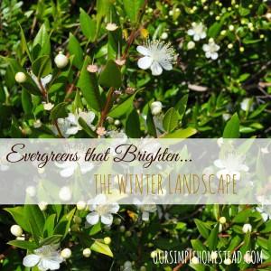 Evergreens that Brighten the Winter Landscape