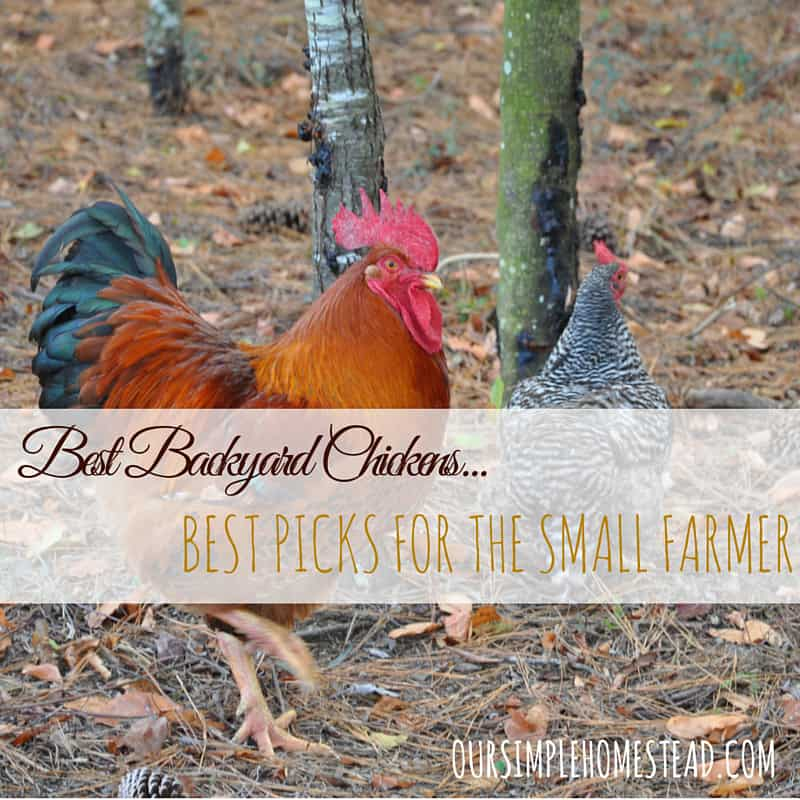 best backyard chickens