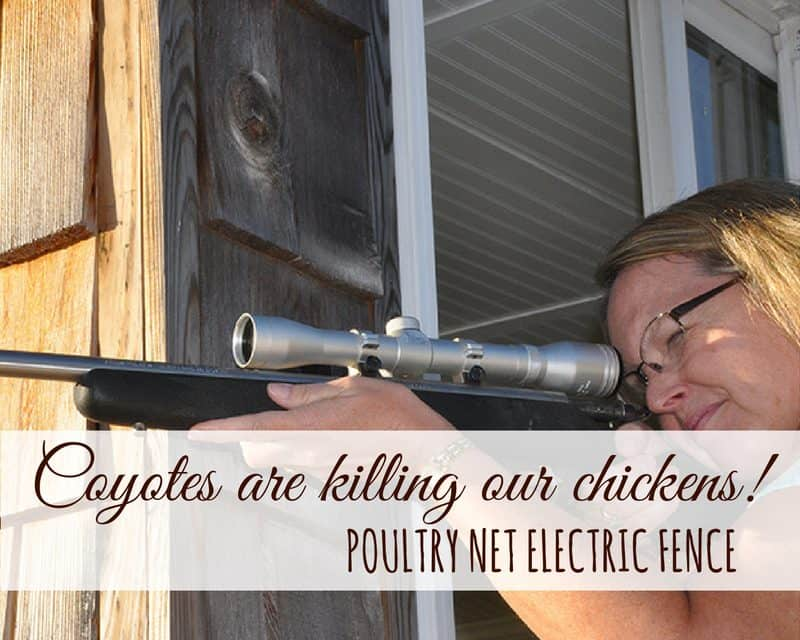 Electric chicken fence saved our hens from a pack of coyotes!