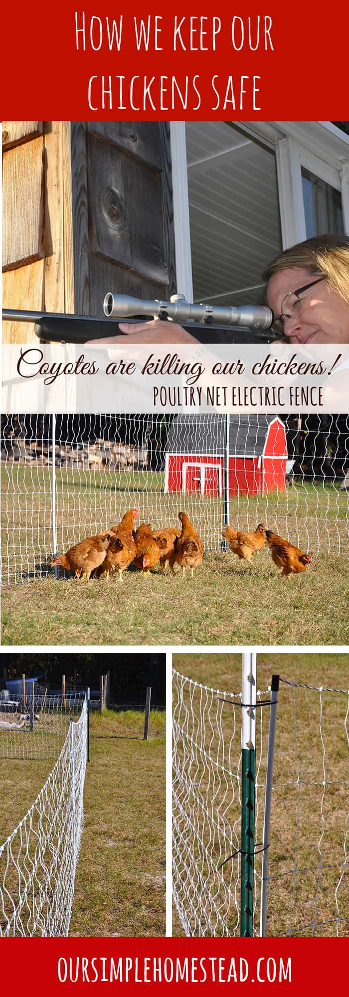 Electric Chicken Fence saved our chickens!