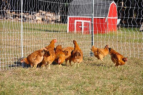 raisied chickens