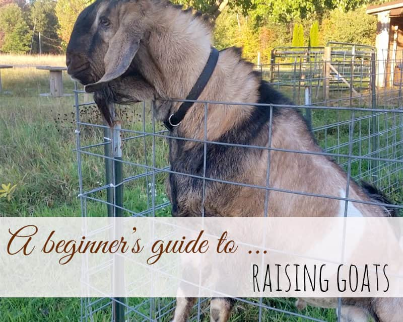 Beginners Guide to Raising Goats